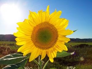 500px-Sonnenblume