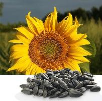 wc_sunflower
